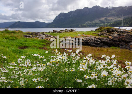 Spray of daisies blowing in the wind on a sunny day by the seafront in Plockton Harbour - Stock Photo