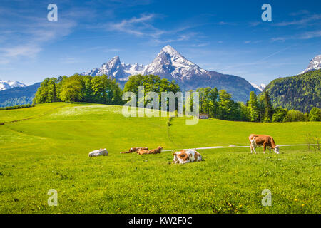 Idyllic summer landscape in the Alps with cows grazing on fresh green mountain pastures and snow capped mountain - Stock Photo