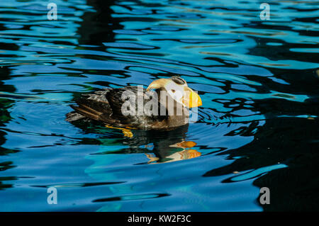 Wild puffin at Alaska. Puffins are one of the most distinctive sea birds in coastal Alaska. - Stock Photo