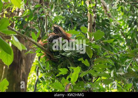 Wild and critically endangered Sumatran orangutan (Pongo abelii) in Gunung Leuser National Park in northern Sumatra, - Stock Photo