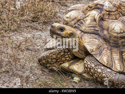 An Aldabra giant tortoise (Aldabrachelys Gigantea) - Stock Photo
