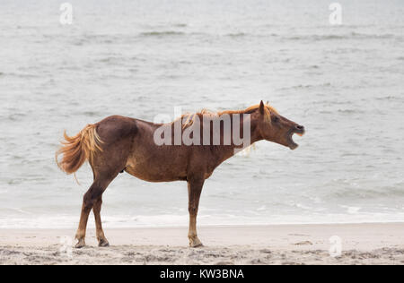 A Wild pony, horse, of Assateague Island, Maryland, USA on the beach. These animals are also known as Assateague - Stock Photo