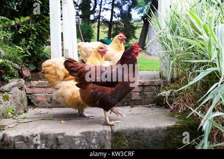 Group of hens in English garden - Stock Photo