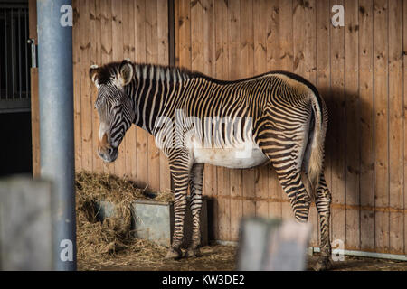 The Grévy's zebra (Equus grevyi), also known as the imperial zebra at Marwell Wildlife zoo, UK. - Stock Photo