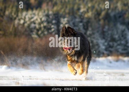 Black Old German Shepherd dog running on a sunny winter morning - Stock Photo