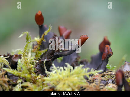 Scaly Pelt Lichen - Peltigera praetextata On moss covered log - Stock Photo