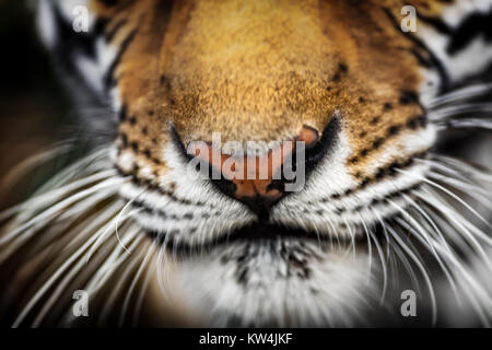 tiger nose closeup - Stock Photo