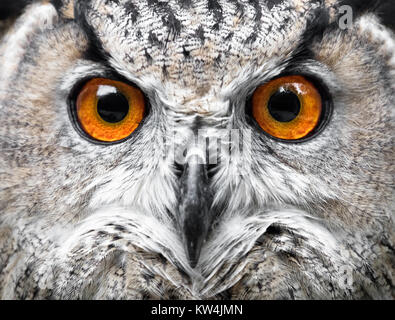 Owls Portrait. owl eyes - Stock Photo