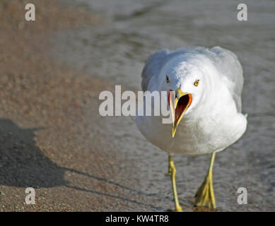 Seagull squawking at the beach - Stock Photo