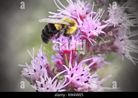 Bumble Bee taking nectar and pollen from a Wildflower - Stock Photo