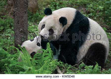 A giant panda mother plays with her cub inside their enclosure at the Wolong Nature Reserve. - Stock Photo