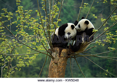 A pair of giant panda cubs play in a tree at the Gengda Giant Panda base that is part of the Wolong Natural Reserve. - Stock Photo