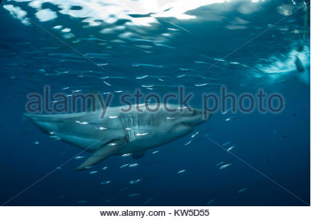 A great white shark swims in the Isla Guadalupe Biosphere Reserve off Baja California. - Stock Photo
