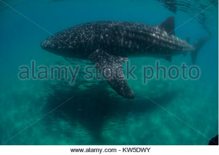 A whale shark swims over sand in La Paz, Baja, Mexico. - Stock Photo