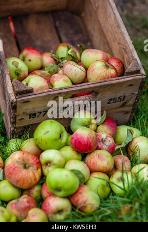 Ripe apples freshly picked and an old apple storage crate, Gloucestershire, UK - Stock Photo