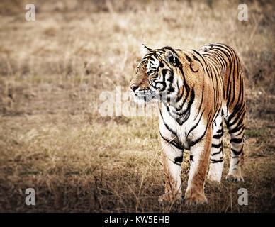 Tiger in a beautiful golden light - Stock Photo