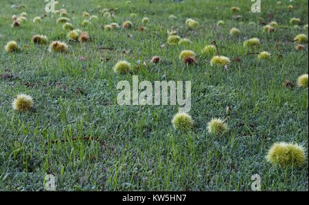 Spiky green fruit from a sycamore tree laying across green grass. - Stock Photo