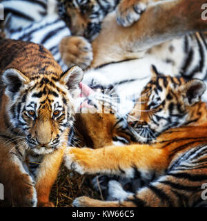 tigress with cub. tiger mother and her cub - Stock Photo