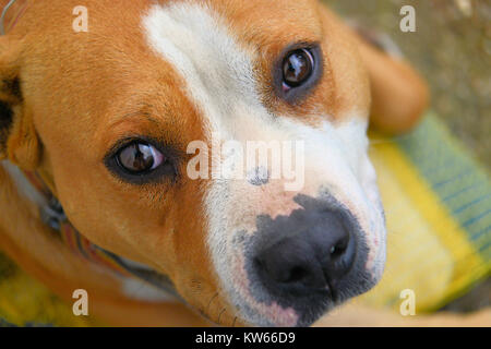 closeup portrait of dog, american stafford shire terrier focus on the eye,image of a - Stock Photo