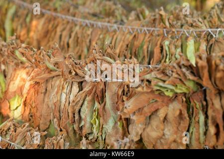Tobacco leaves drying in the shed. shallow dof, image of a - Stock Photo