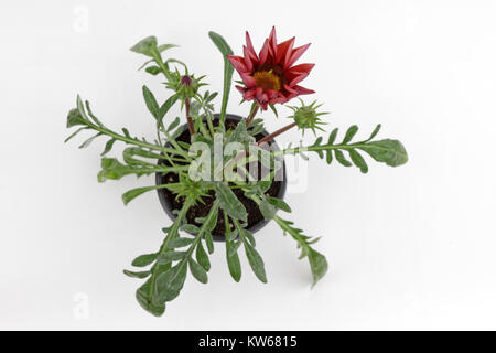 Gazania. Red crimson Gazania flower with green leaves and flower buds isolated on white background for sale, decorations - Stock Photo