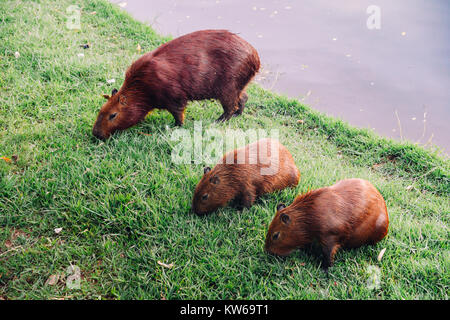 The capybara Hydrochoerus hydrochaeris is the largest living rodent in the world. Also called chig ire and carpincho, - Stock Photo