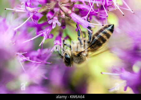 Close up bee on flower Thyme - Stock Photo