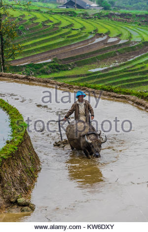 Farmer and water buffalo working in the rice terraces of the Muong Hoa Valley near Sapa. northern Vietnam. - Stock Photo