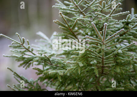 Spruce in a wintry Sweden. - Stock Photo
