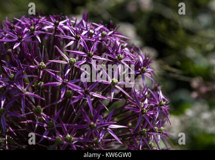 Close up of a large purple Allium flower head with star shaped flowers beginning to turn to seed - Stock Photo