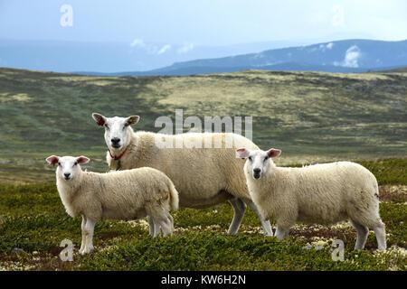 Sheep, Norway - Stock Photo
