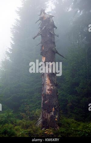 Dry broken off trunk of the old tree is shrouded in mist (Ukraine, Carpathians, Dragobrat) - Stock Photo