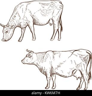 Set of hand drawn cow illustration isolated on white background. Design element for poster, emblem, logo, sign. - Stock Photo