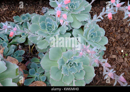 Echeveria Curly Locks drought resistant grey leaved plant in flower with pink flowers growing in a garden Los Angeles, - Stock Photo