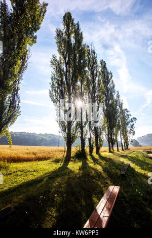 Populus nigra, black poplar trees in row, Czech Republic - Stock Photo