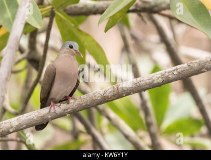 blue-spotted wood-dove Turtur afer adult perched on tree branch in forest, Gambia - Stock Photo