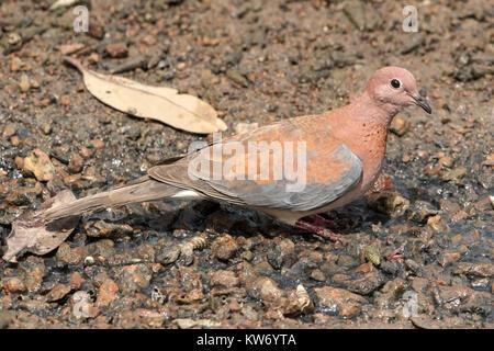 laughung dove Spilopelia senegalensis adult feeding on ground, Gambia - Stock Photo