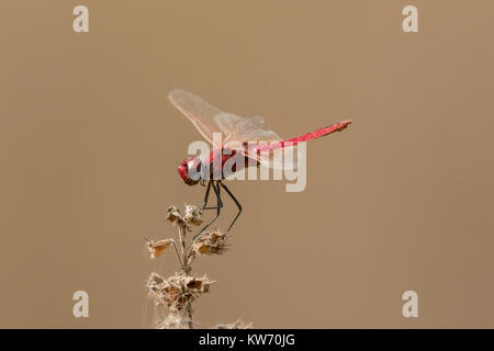 scarlet darter dragonfly or broad scarlet Crocothemis erythraea resting on vegetation, Gambia - Stock Photo