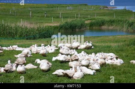 Gooses, poultry farm at the village Mursewiek, Ummanz, Ruegen island, Mecklenburg-Western Pomerania, Baltic Sea, - Stock Photo