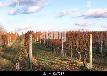 vineyard in long island, ny - Stock Photo