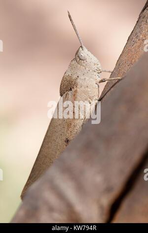 Slender Gumleaf Grasshopper (Goniaea vocans) on branch. Entwood Sanctuary. Sandleton. Murraylands. South Australia. - Stock Photo