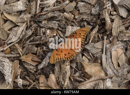 Gulf fritillary, Agraulis vanillae, basking on wood chippings in cool weather. Florida. - Stock Photo