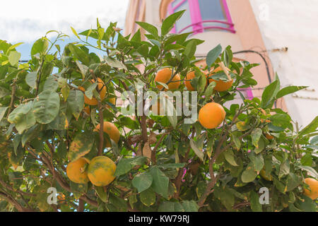 Orange tree with fruits with building of pink windows behind in city of Guardamar del Segura, Alicante - Stock Photo