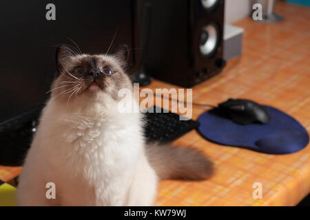 A seal point Birman cat, 9 month old cat , male with blue eyes sitting on the PC table - Stock Photo