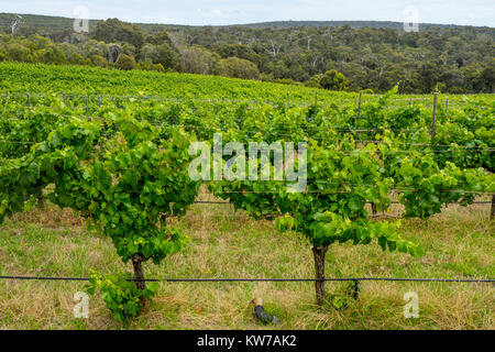Green leafy foliage of grapevines and gum trees in the background in Margaret River, Western Australia. - Stock Photo