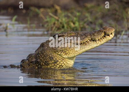 Nile crocodile (Crocodylus niloticus), Chobe river, Botswana, September 2017 - Stock Photo