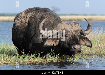 Cape buffalo (Syncerus caffer), Chobe river, Botswana, June 2017 - Stock Photo