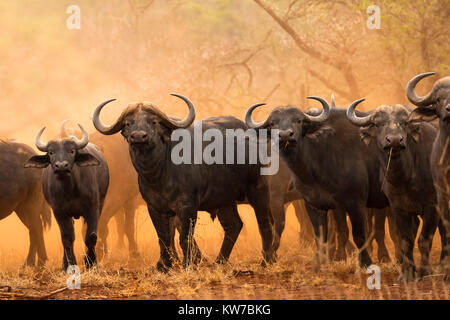 Cape buffalo (Syncerus caffer), Zimanga game reserve, South Africa, September 2017 - Stock Photo