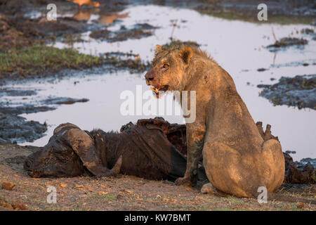 Young male lion (Panthera leo) on buffalo kill, Chobe national park, Botswana, September 2016 - Stock Photo