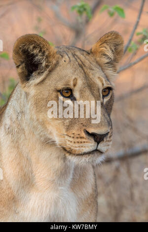 Lioness (Panthera leo), Chobe National Park, Botswana, September 2017 - Stock Photo